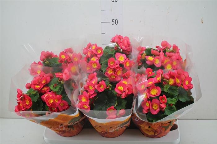 <h4>Begonia El Valentino Pink</h4>
