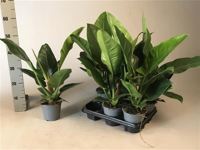 <h4>Philodendron Imperial Green 14Ø 60cm</h4>