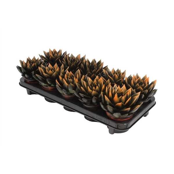 <h4>Echeveria bicoloured black/orange</h4>