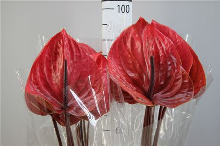<h4>Anthurium A Cantello</h4>