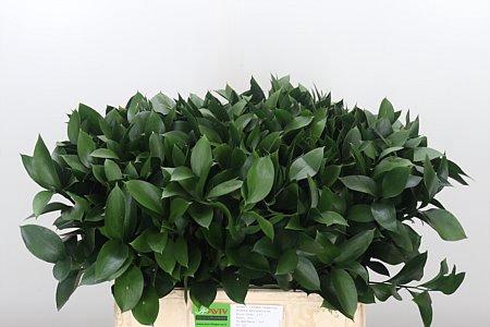 <h4>Dec Ruscus Hypophyllum</h4>