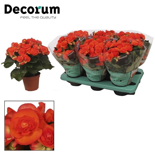 <h4>Begonia ''reina'' oranje</h4>
