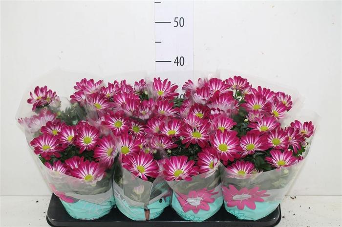 <h4>Chrysanth Elegant Pink</h4>