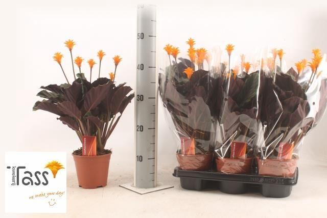 <h4>Calathea crocata</h4>