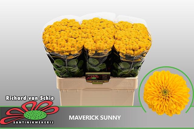 <h4>Chr Sant Maverick Sunny</h4>