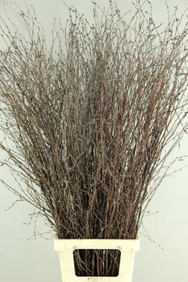 <h4>Betula Bs  Natural Fst</h4>