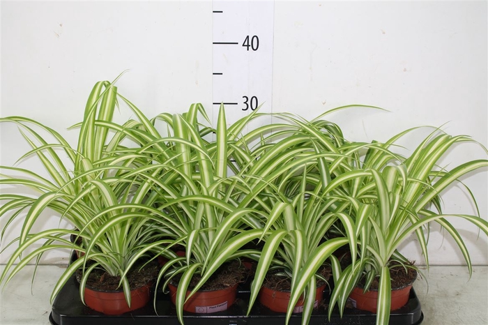 <h4>Chlorophytum Variegatum</h4>