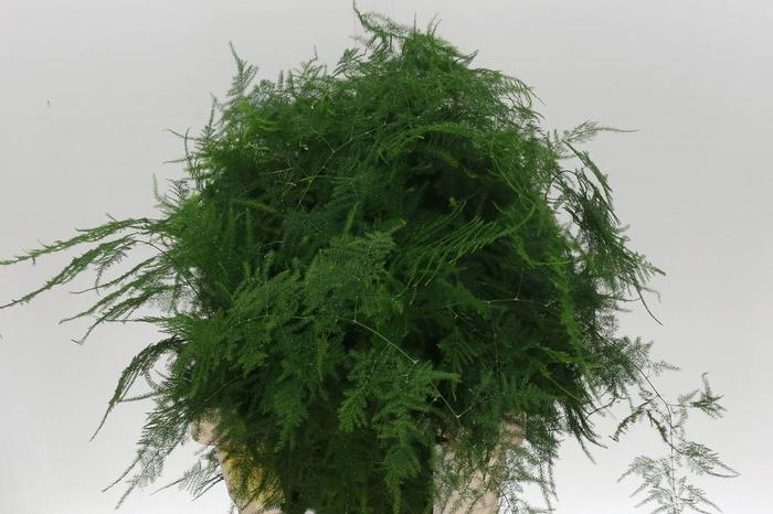 <h4>Asparagus Setac Extra Veren</h4>
