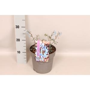 vaste planten 19 cm  Corydalis Porcelain Blue jong