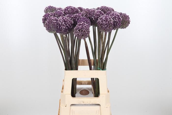 <h4>Allium Summer Drumme</h4>