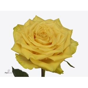 Rosa large flowered Sunchaser