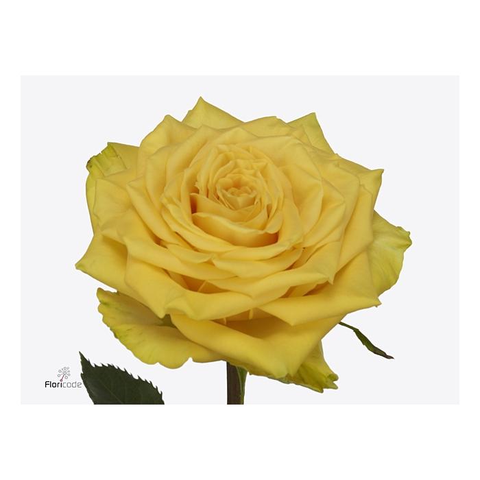 <h4>Rosa large flowered Sunchaser</h4>
