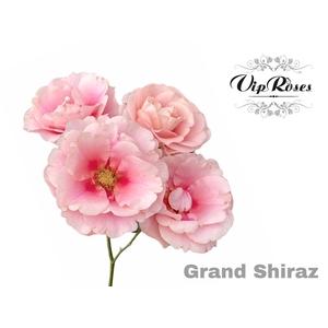 R TR GRAND SHIRAZ