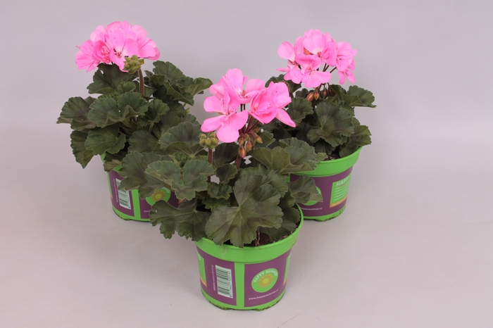 Pelargonium zonale Anne Pink Rose