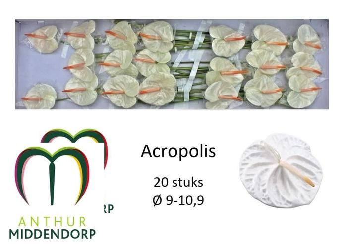 <h4>ANTH A ACROPOLIS</h4>