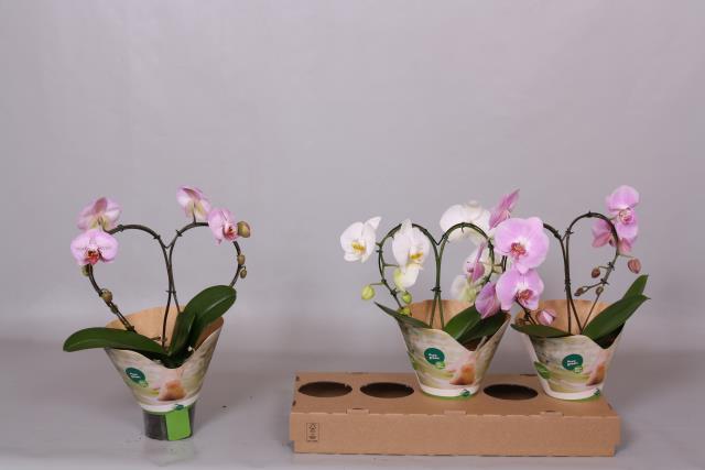 <h4>Phalaenopsis 12Ø 70cm</h4>