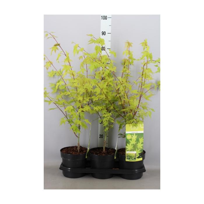 <h4>Acer palmatum 'Summer Gold'</h4>