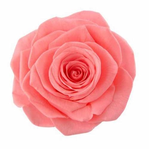 Rose Ava Pink Nectar