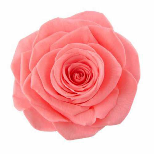 <h4>Rose Ines Pink Nectar</h4>