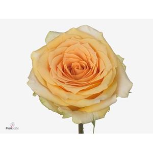 Rosa large flowered Golden Temple