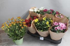 <h4>Chrysanthemum surtido 7kl</h4>