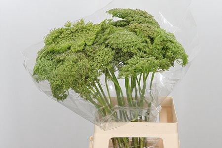 <h4>Ammi Visn Green Mist ( Seeds )</h4>