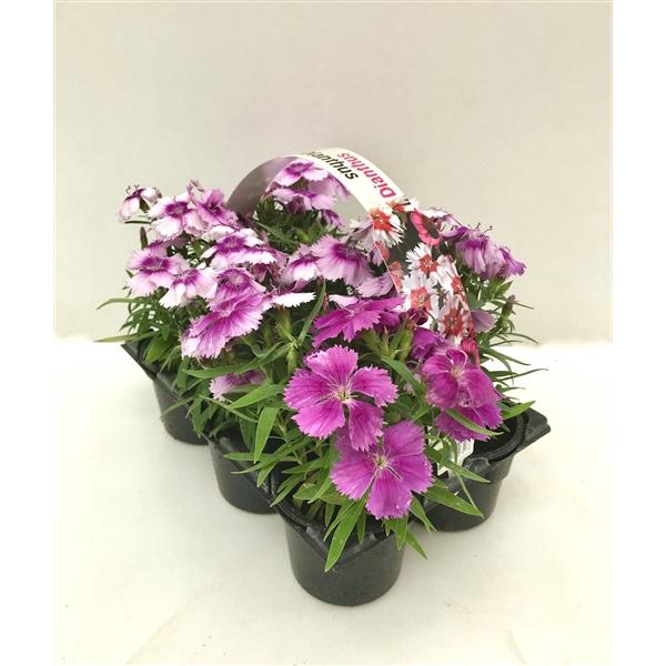 <h4>Dianthus paars 6p</h4>