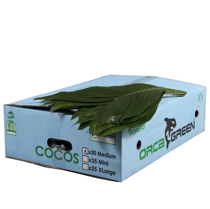 <h4>Cocos Medium Doos Orca</h4>
