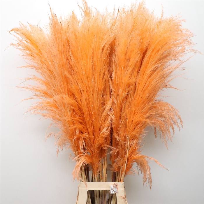 <h4>Corta Dried Mango 120cm</h4>