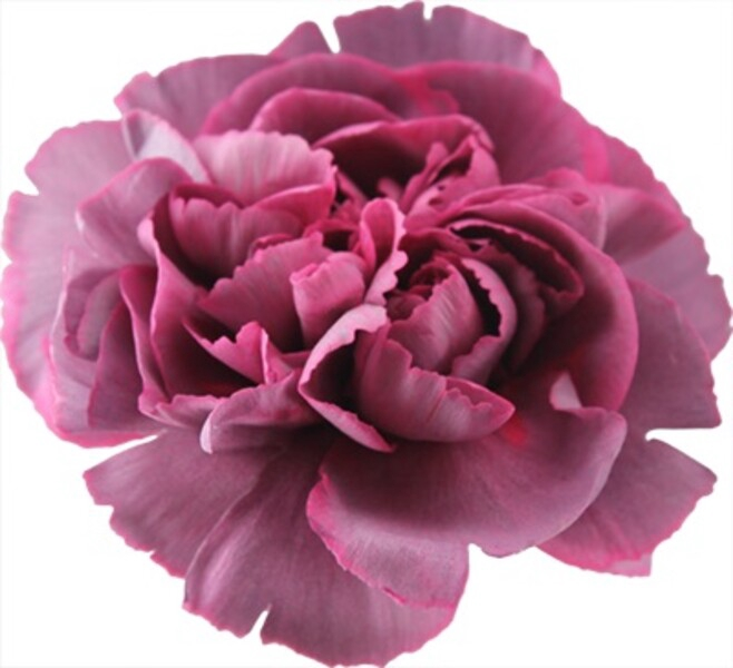 <h4>Dianthus st. Hypnosis</h4>