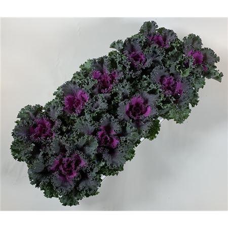 <h4>Brassica Gekruld Rood</h4>