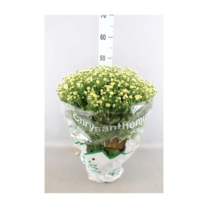 <h4>Chrysanthemum  'Jasoda White'</h4>