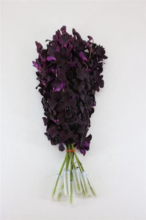 Dendro Black Beauty Sg
