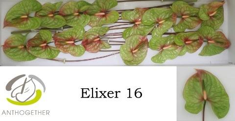 <h4>Anthurium andr. 'Elixer'</h4>