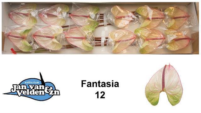 <h4>Anthurium Fantasia</h4>