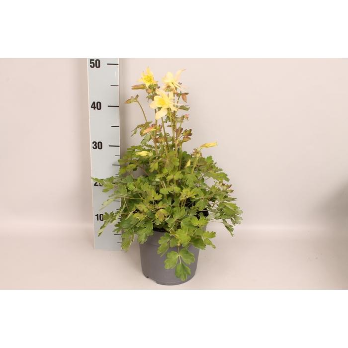 <h4>vaste planten 19 cm  Aquilegia Yellow</h4>