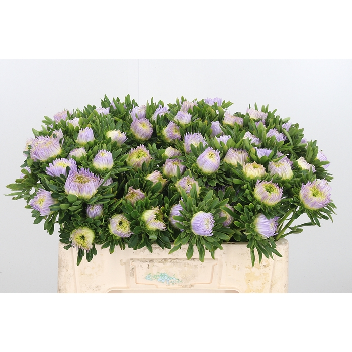 <h4>Callistephus Dubbel Lavendel</h4>