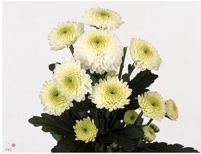 <h4>Chrysanthemum santini Ferry</h4>