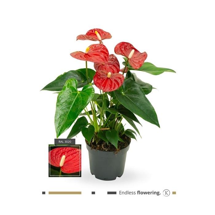 <h4>Anthurium Andr. Karma Red</h4>