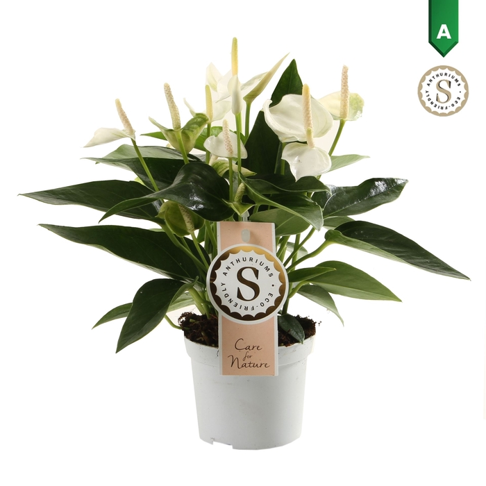 <h4>Anthurium andr. 'White Champion'</h4>