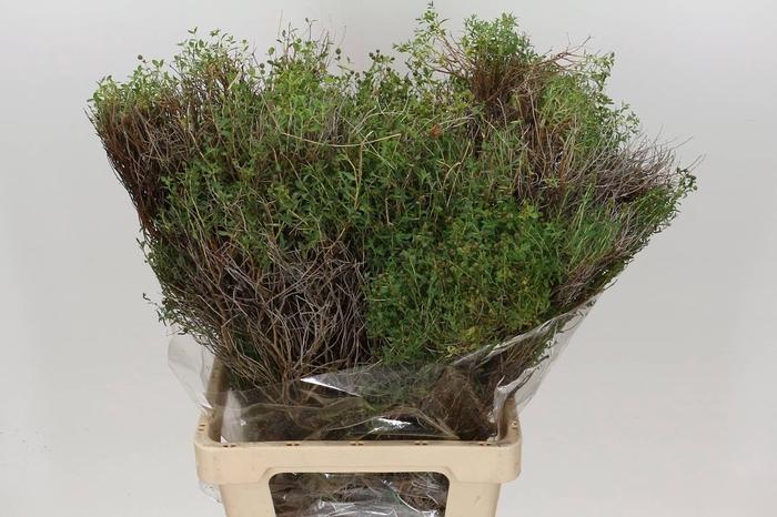 <h4>Euphorbia Lang Ex (P. Bos)</h4>