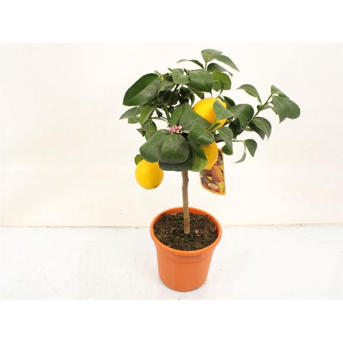 <h4>Citrus Lemon Stem</h4>