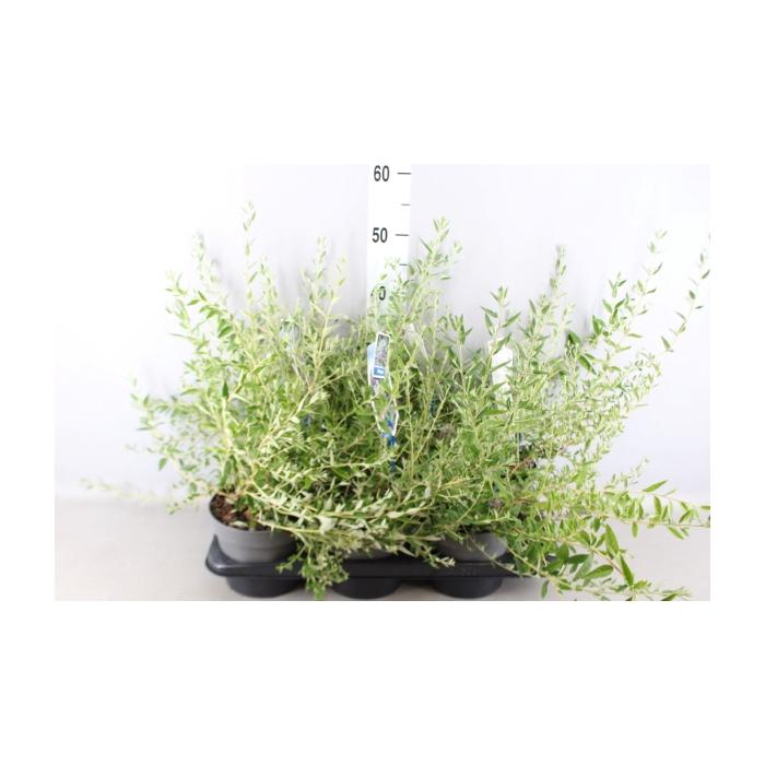 <h4>Buddleja alternifolia</h4>