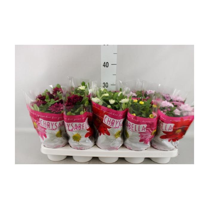 <h4>Chrysanthemum    ..rosebud mix</h4>