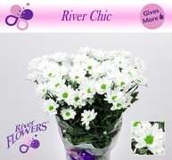 <h4>Chrysanthemum spray Chic White</h4>
