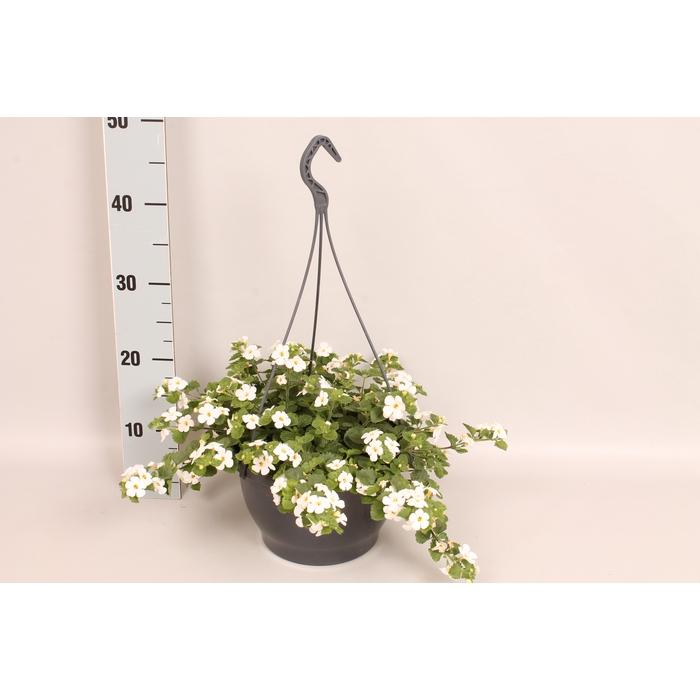 <h4>Hangpot 23 cm Bacopa Sutera White</h4>