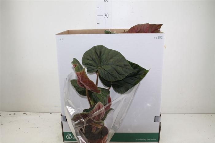 <h4>Begonia Oldemore</h4>