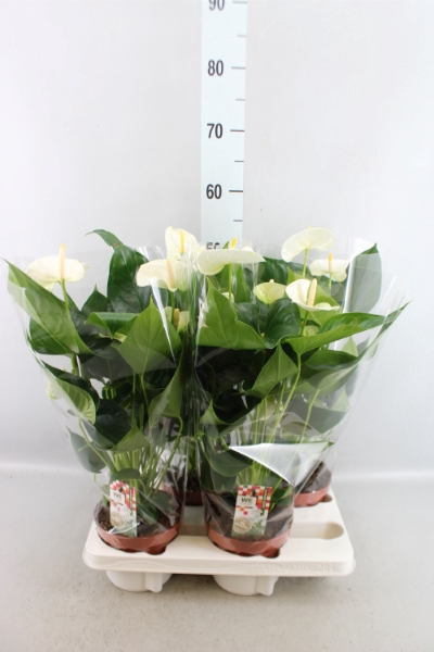 <h4>Anthurium andr. 'Sharade White'</h4>