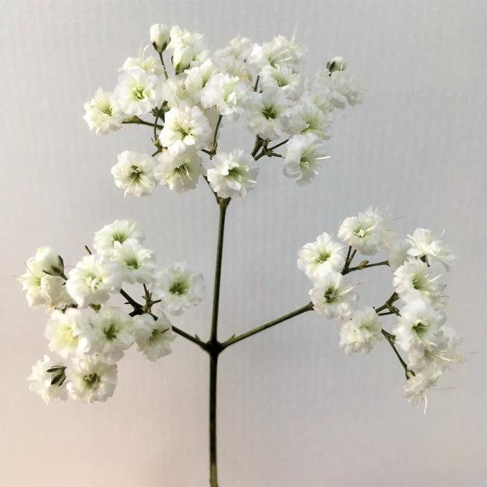 <h4>Gypsophila - Zinzi</h4>