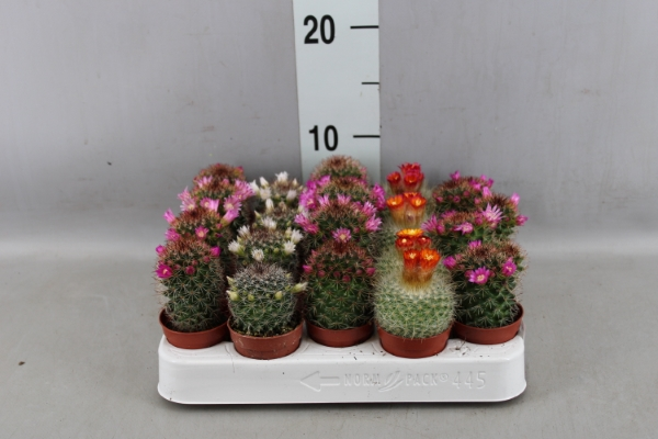 <h4>Cactus   ...flowering mix</h4>